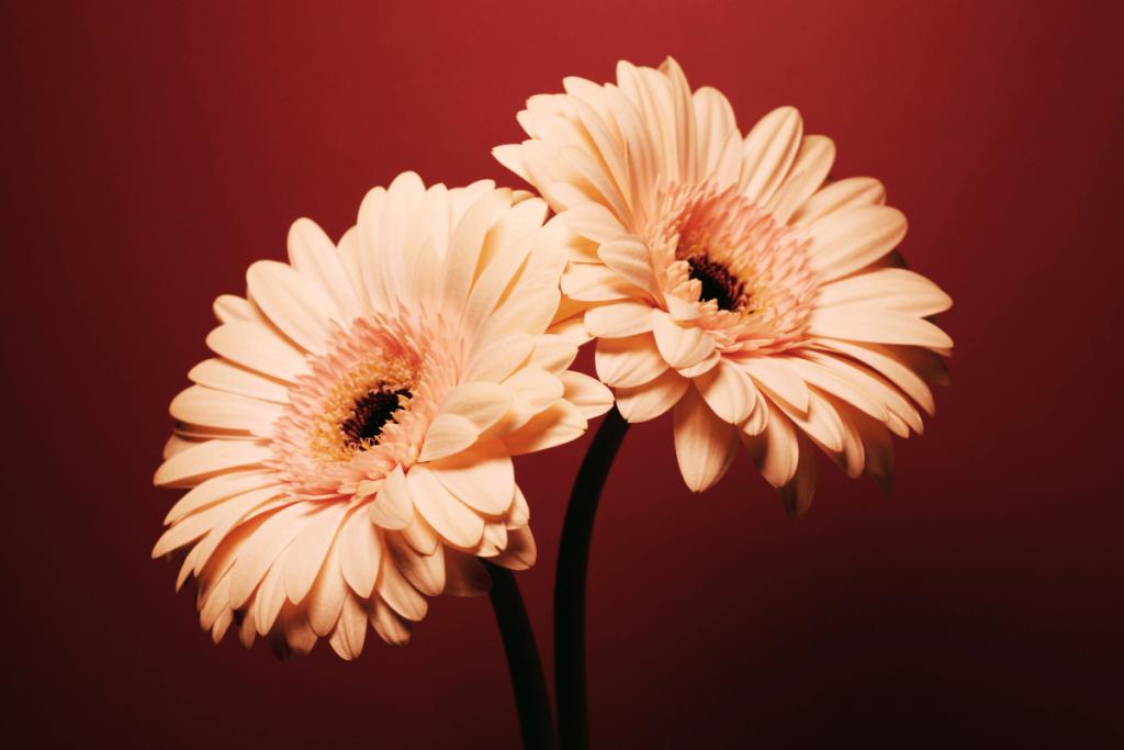 ดอกเยอบีร่าสีชมพูอ่อน 2 ดอก พื้นหลังสีแดง