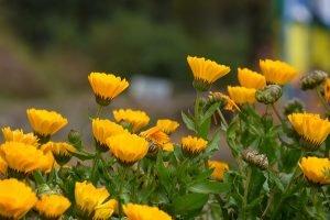 ดอกดาวเรืองหม้อ สีเหลืองสดใส เติมความสดชื่น