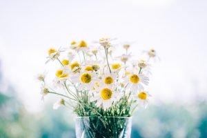 ดอกคาโมมายล์ กลีบสีขาว เกสรสีเหลือง ช่วยให้หลับสบาย