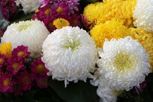 ดอกเบญจมาศหลากสี ความหมายดี มีสรรพคุณทางสมุนไพร