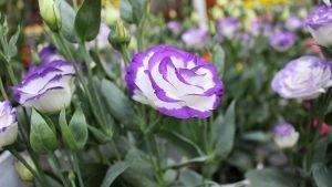 ดอกไลเซนทัสสีม่วงช่วยเสริมสร้างความครีเอทีฟ