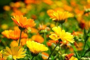ดอกดาวเรืองหม้อในทุ่งกำลังบานรับแสงอาทิตย์
