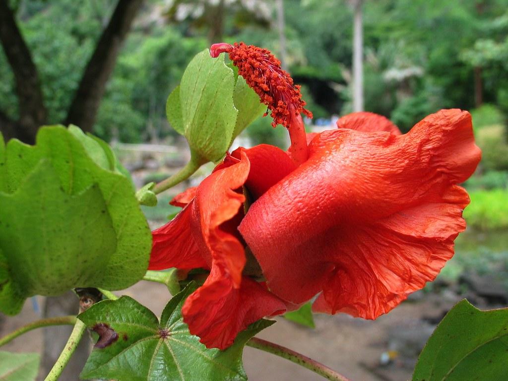 ดอก Cooke's Kokio สีแดงสด พบได้บนเกาะฮาวาย