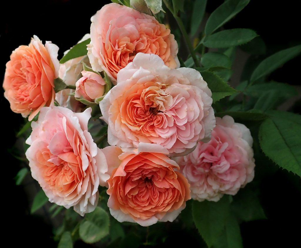 ดอกกุหลาบจูเลียตสีชมพู บานอยู่บนต้น