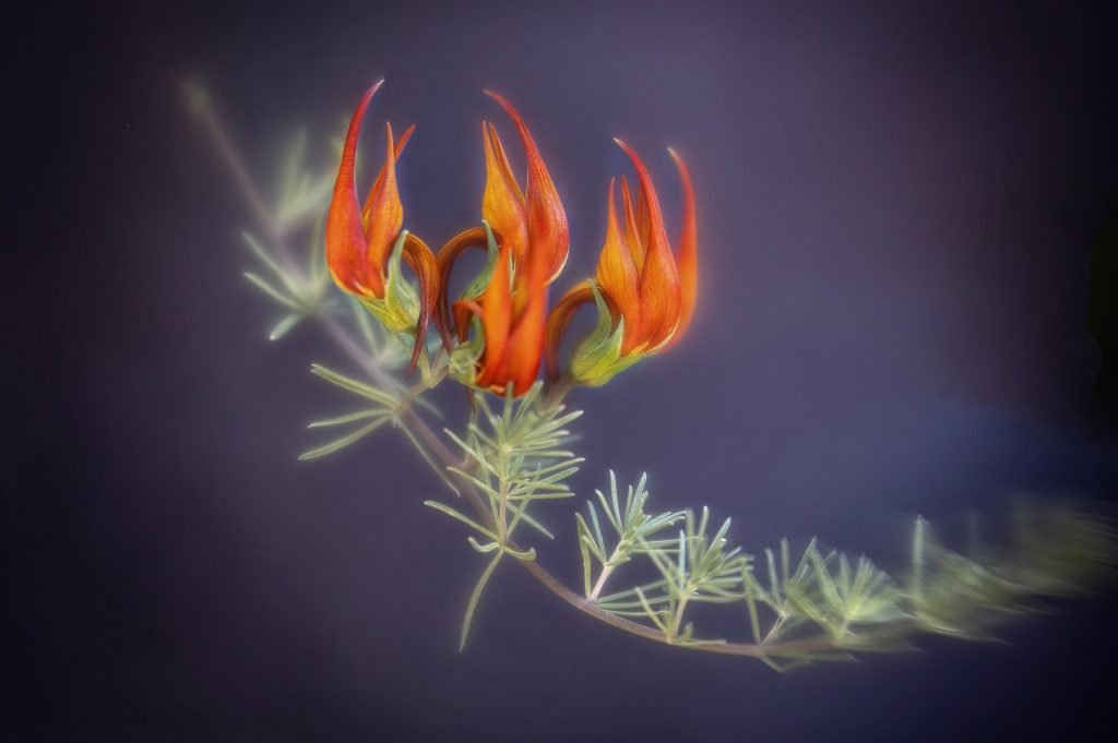 ดอกจงอยปากนกแก้ว Parrot's Beak สีส้มหายาก