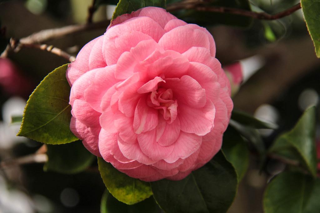 ดอก Middlemist's Red บานบนต้น กลีบสีชมพูอ่อน