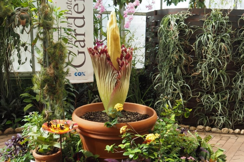ดอกซากศพที่ถูกจัดโชว์ไว้ในสวนแสดงดอกไม้