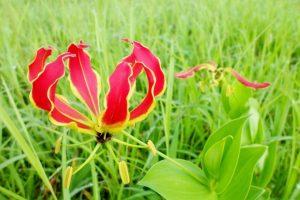 ดอก Flame lily หรือดอกดองดึงบนเกาะมาดากัสการ์