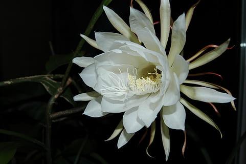 ดอกคาดูพูล ดอกสีขาว บานในเวลากลางคืน