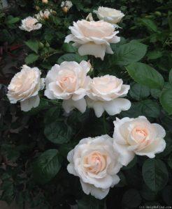 ดอกกุหลาบตามธรรมชาติ
