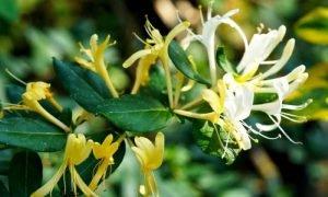สมุนไพรดอกสายน้ำผึ้ง