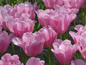 ราศีกันย์-tulip