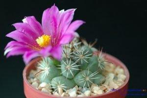 ราศีพิจิก-ดอกกระบองเพชร
