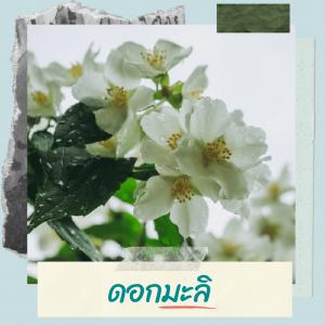 ความหมายของดอกมะลิ