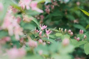 ต้นดอกสายน้ำผึ้ง ดอกสีชมพูอ่อน