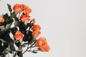 ดอกกุหลาบสีส้ม พื้นหลังสีขาว
