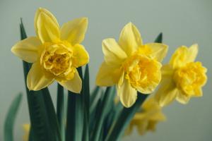 ดอกนาร์ซิซัสสีเหลืองสี่ดอก