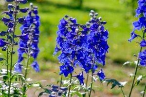 ทุ่งดอกเดลฟิเนียมสีน้ำเงินในต่างประเทศ