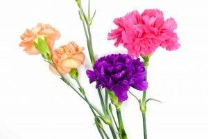 ดอกคาร์เนชั่นสีม่วง ชมพู และสีโอลด์โรส