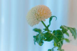 ดอกเบญจมาศสีขาวดอกเดี่ยว