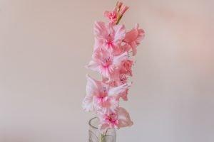 ดอกแกลดิโอลัสสีชมพูอ่อนจัดในแจกัน