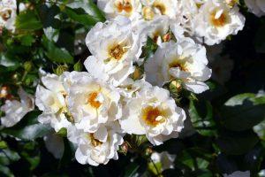 ดอกฮอลลี่หรือดอกฉัตรทองสีขาว