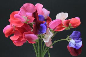 ดอกสวีทพีสีชมพูและสีม่วง